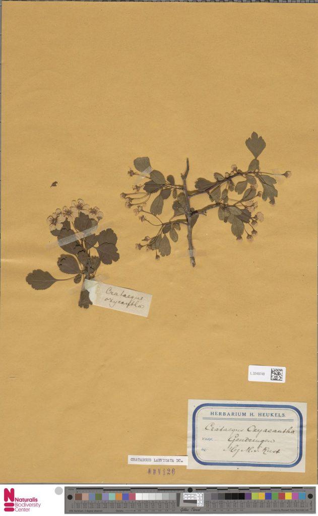 Crataegus laevigata (Poir.) DC.